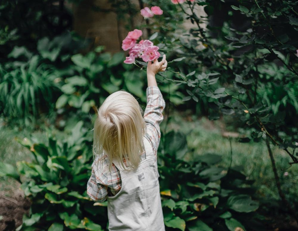 Child looking at pink roses blooming in a garden