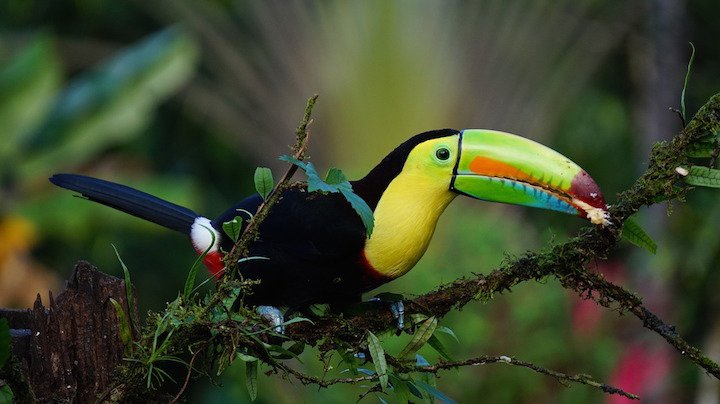 keel-billed-toucan-1021048_1280